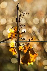 Winter vine (theqspeaks) Tags: california ca winter leaves canon leaf vineyard wire december wine bokeh vine valley napa 70200 grape oakville tendrils canon70200f4l 2011 f4l 60d canonef70200mmf4lisusm theqspeaksblogslideshow