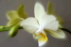 Orchids (♥ Katie ann. Off more than on.) Tags: masterphotos artisticflowers takenwithlove mindigtopponalwaysontop handselectedphotographs lovelyflickr thegoldenachievementawards