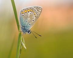 Bluling (Juergen6363) Tags: macro butterfly nikon sommer natur wiese falter schmetterling freihand bluling naturfotografie tagfalter nikkor60mm28 d300s