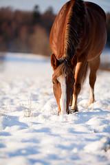Snowy Hero (Maria Karlsson) Tags: christmas horse snow cold happy frost warmth hero sn hst nordsvensk kallt snigt juligt halvblod