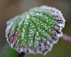 Bramble leaf this morning (conall..) Tags: morning winter brown cold macro green ice leaf frost crystals dof blackberry purple january bramble rubus narrowdof rosaceae raynox raynoxdcr250 blinkagain