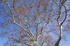 The 51 Megabyte Tree (Roy Prasad) Tags: california leica travel vacation sky usa mountain holiday tree nature leaf university branch dof bokeh hill stanford prasad asph f28 s2 30mm stanforduniversity elmarit aspherical 12830 royprasad elmarits