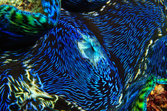 giant clam macro (Cruising, traveling & dive pics.) Tags: macro coral 2012 escapereef