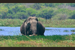 Soft Meal (Sara-D) Tags: nature animals forest nationalpark asia wildlife sl sri lanka elephants srilanka ceylon lk aliya maximus wildanimals southasia elephasmaximus sarad elephas elephasmaximusmaximus specanimal saranga kumana wildelephants sarangadevadealwis kumananationalpark sarangadeva