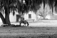 Coosaw - Grazing Free (Sco†† C. Hansen (TheHansenGallery.com)) Tags: horse tree fog barn landscape farm south low country southern liveoak spanishmoss beaufort equestrian lowcountry coosaw