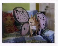 butterfloyd (EllenJo) Tags: dog pet chihuahua butterfly wings saturday instant february floyd 2012 fairywings instantfilm fp100c february4 indisguise fujifp100c thelittledoglaughed ellenjo ellenjoroberts polaroidpathfinder rollfilmcameraconvertedtopackfilm ldlnoir
