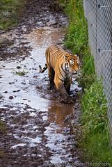 Vladimir 6 (Gaz - (Gareth Hinchliffe Photography)) Tags: water puddle mud yorkshire tiger doncaster vladimir amurtiger sonya300 sonyα300 yorkshirewildlifepark sonyα70400mmf456ssmgsal70400g