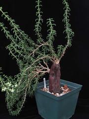 Mestoklema arboriforme (odds&endssg) Tags: aizoaceae mestoklema