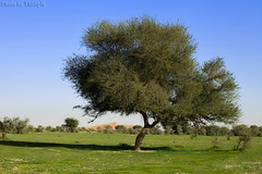 Green Desert - Explore (TARIQ-M) Tags: tree landscape sand desert dunes riyadh saudiarabia hdr   canoneos5d       ef1635mmf28liiusm canoneos5dmarkii     100606169424624226321postsnajd12sa