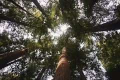 Day 6: Looking Up (whitneybee) Tags: trees lookingup redwoods ugc henrycowell natureycrap februaryphotochallenge