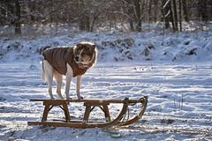 IMG_9711 (tomekwlodarczyk) Tags: dog snow canon poland polska pies polen zima doggie ef70200mmf4l 2012 szczecin nieg stettin mrz snieg canon400d psina