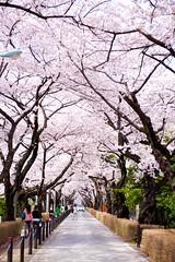 RY1_9550 (Ryosuke Yagi) Tags: cemetry tree cherry tokyo spring blossom blossoms  sakura  aoyama