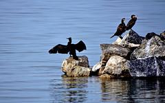 Les cormorans (Diegojack) Tags: nikon eau lman oiseaux cormorans allaman nikonpassion d7200