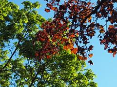 2 Ahorne (bratispixl) Tags: nature germany jahreszeit oberbayern mai frhling baumblte chiemgau traunreut blattfarben stadtrundweg bratispixl