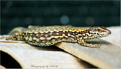 Hello to all ! (Simply Viola) Tags: animal reptile lizard animale lucertola rettile