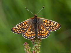 Marsh Fritillary (Euphydryas aurinia). (od0man) Tags: uk macro butterfly insect lepidoptera wiltshire fritillary wroughton nymphalidae barburycastle marshfritillary euphydryasaurinia canonef100mmf28lisusmmacro
