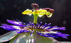 Drops of passion (Robyn Hooz) Tags: storm macro rain purple passion fiore pioggia padova gocce violetta