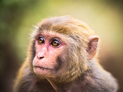 portrait of a monkey (xtj7) Tags: portrait animal animals closeup monkey asia wildlife vietnam halongbay em1 40150mm
