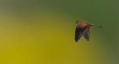 colored (hardy-gjK) Tags: color art nature nikon superb wildlife raptor falcon simply farbe kestrel falke creativ