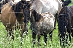 Mustangs and Wild Horses - 2016-0027_Web (berni.radke) Tags: horse pony mustang pferd nordrheinwestfalen colt wildhorse foal fohlen croy herde dlmen feralhorses wildpferdebahn merfelderbruch merfeld przewalskipferd wildpferd dlmenerwildpferd equusferus wildpferdefang dlmenerpferd dlmenpony herzogvoncroy wildhorsetrack