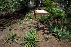 IMG_8635.CR2 (jalexartis) Tags: yard landscape backyard landscaping shrub yucca shrubbery yuccaplant