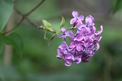 The colour purple (Joey Dunne) Tags: flower nature beauty ethereal