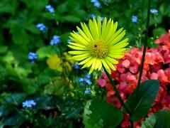 Im Garten (chrisheidenreich) Tags: flower yellow garden natur gelb blume garten