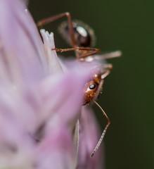 Ant (Scott Michaels) Tags: macro nikon ant teleconverter kirk d600 compoundeye nikon105mmvr tc17 sc28 macrobracket sb700