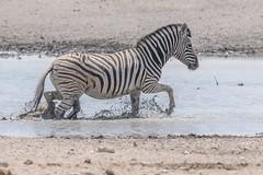 PGC_7633-20150925 (C&P_Pics) Tags: na namibia kunene burchellszebra etoshanationalpark okaukuejocamptodolemitecampandhobarterelodge
