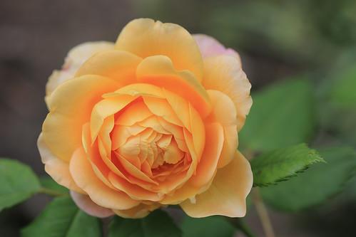 English rose Golden Celebration