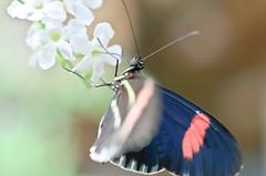 Brief encounter (L E Dye) Tags: canada butterfly nikon alberta devonianbotanicalgardens d5100 20mmextentiontube ledye