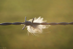 Caught in a barbed wire (times_like_these) Tags: light sun nature outside soft belgium random feather barbedwire limburg borgloon sigma1850mm sooc sonyalpha300 smetsine