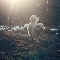 Dashing Through the Woods... (kderty74) Tags: dog sunlight white eye woods view sunday running mystical through worm magical dashing