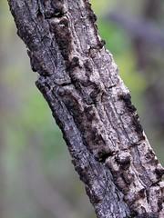Connarus suberosus (Mauricio Mercadante) Tags: brazil brasil cerrado paratudo pauferro galinhachoca cabelodenegro connaraceae connarus ararutadocampo connarussuberosus taxonomy:binomial=connarussuberosus araribadocampo