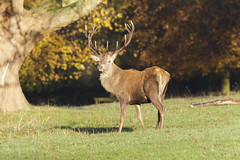 November (mijoli) Tags: england stag cheshire antlers hart nationaltrust reddeer macclesfield lymepark disley cervuselaphus ef300mmf4lisusm extenderef14xii canon5dmarkii sharpenerpro30 2011ayearoflymepark