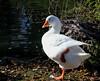White Duck. Pato blanco de perfil (Pepe (ADM)) Tags: white blanco duck perfil pato pepe gijon