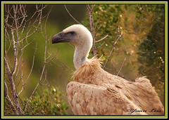 Retrato de buitre, Vulture portrait. (jleisfotos) Tags: portrait naturaleza bird nature up close wildlife aves cadiz animales cerca vulture buitre leonado salvaje rapaces