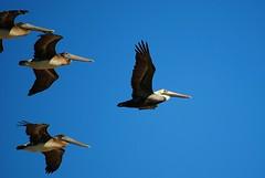 As they came into view (Zoom Lens) Tags: ocean sea shells bird beach pelicans water birds seashells four sand surf waves florida flight shoreline pelican atlantic breakers theoceanatlantic johnrussellakazoomlens copyrightbyjohnrussellallrightsreserved