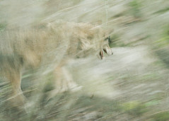 wolf hunting (Grymfoting) Tags: