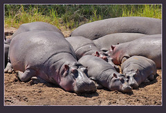 'Potamus power nap!     -best big! (Rainbirder) Tags: hippopotamus masaimara hippopotamusamphibius commonhippopotamus