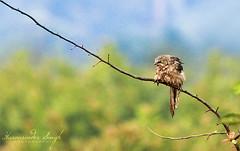 Diagonal Buddy ! (Harvarinder Singh) Tags: birds canon pau ludhiana birdphotography 550d indianbirds harvarindersinghphotography harvarindersingh indianbirdsphotos