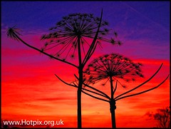 iPod Shuffle2 - Waterloo Sunset [ Giant Cow Parsley ] (Hotpix [LRPS] Hanx for 1.5M Views) Tags: uk blue sunset england sky orange sun up set giant weed looking cheshire smith tony hour hog hogweed lymm hotpix tonysmith tonysmithhotpix