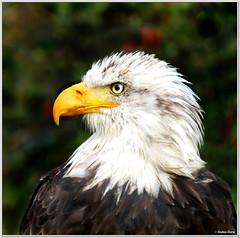 Weikopfseeadler (Stephan Thurm) Tags: eagle bald portrt weiskopfseeadler
