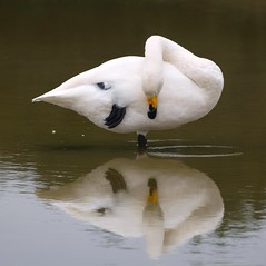 Oiseau miroir ***-- °---° (Titole) Tags: bird white reflection friendlychallenges thechallengefactory sleeping nicolefaton titole storybookwinner challengegamewinner