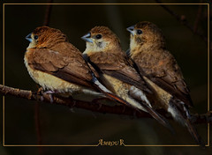 Triple Indian silverbill (Amrou A) Tags: bird dark hair background indian central saudi arabia triple riyadh softlight darkbackground silverbill migrated colorphotoaward kharj nikond7000 blinkagain amroua nikkor300mm14tc