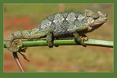 Helmeted Chameleon (Trioceros hoehnelli) (Rainbirder) Tags: ngc npc thomsonsfalls nyahururu coth5 rainbirder trioceroshoehnelli helmetedchameleon