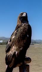 That's a Lot of Chicken (polyglot) Tags: travel holiday 120 honeymoon eagle mongolia cpl filmscan terelj rz67 portra400 jobo fujic41