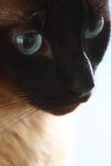 Clementina (*Ολύμπιος*) Tags: portrait cat chat retrato blueeyes gato gata gatto ritratto gatta olhosazuis angorá pippamiddleton rememberthatmomentlevel1