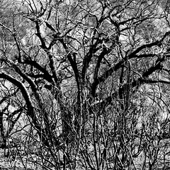 Layers of Trees (Thomas Hawk) Tags: bw usa losangeles unitedstates unitedstatesofamerica califorina tujunga bigtujungacanyon stationfire natureshand