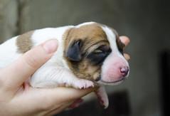 Sally, con 4 das. (Francisco Javier Perin Delgado) Tags: puppy nikon sally cachorro nikkor animalplanet 4das d5100